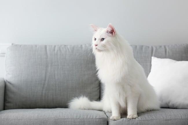 gato gigante branco