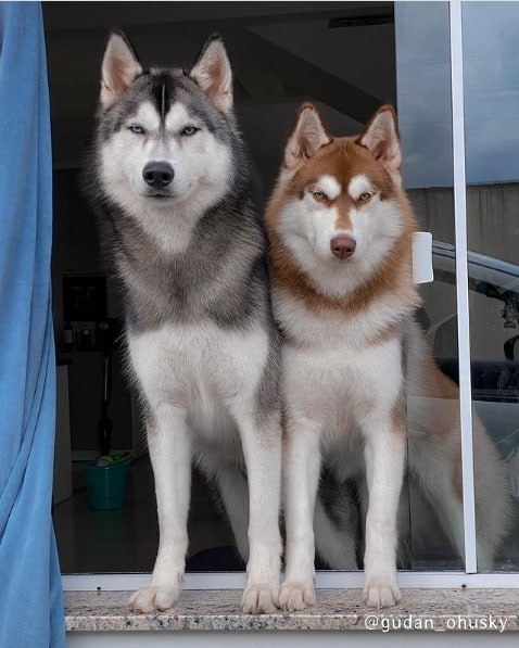 cores e dicas de husky siberiano