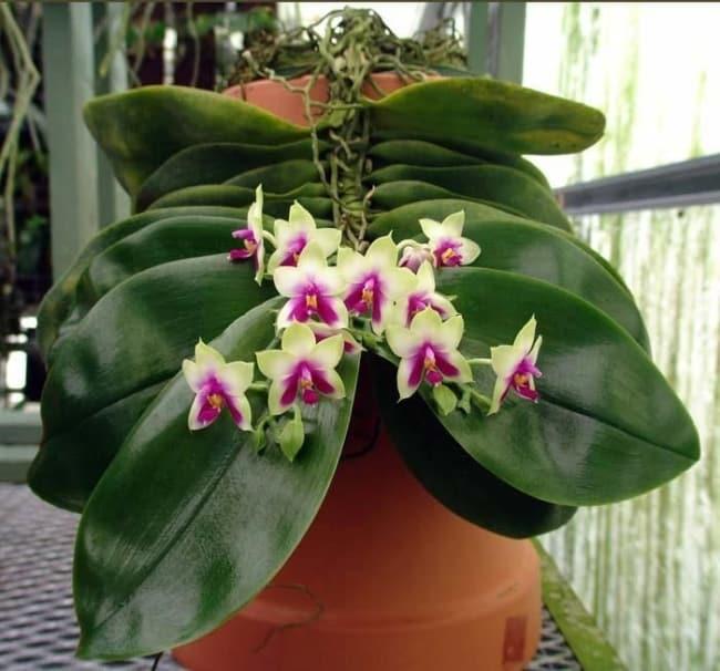 orquidea phalaenopsis bellina