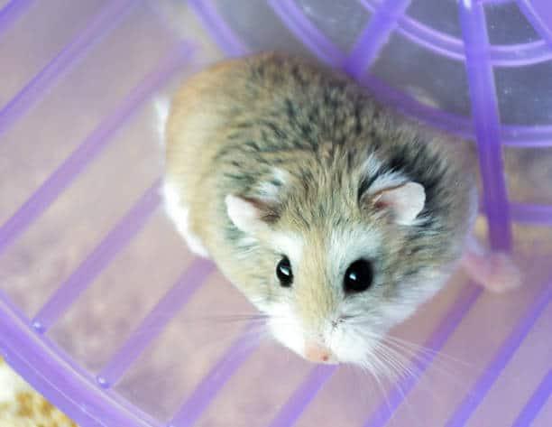 raca de hamster roborovski