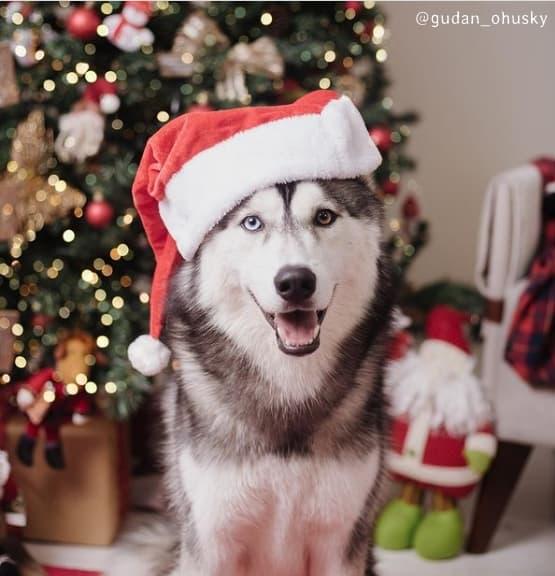 foto de natal com husky siberiano
