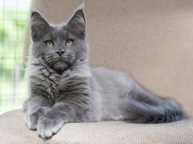 gato maine coon cinza