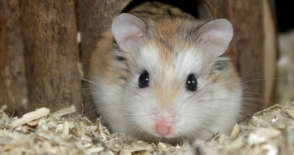 raca Roborovski hamster