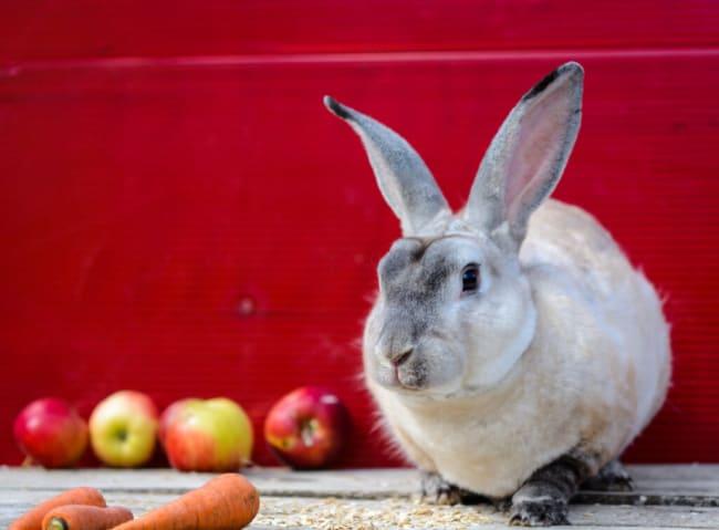 raca de coelho domesticado