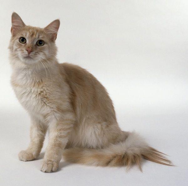 gato maine coon creme