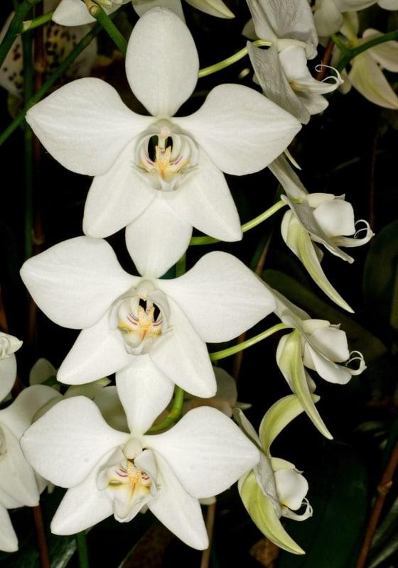 orquidea phalaenopsis aphrodite