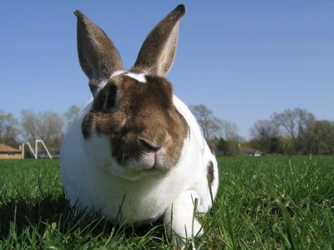 raca de coelho grande