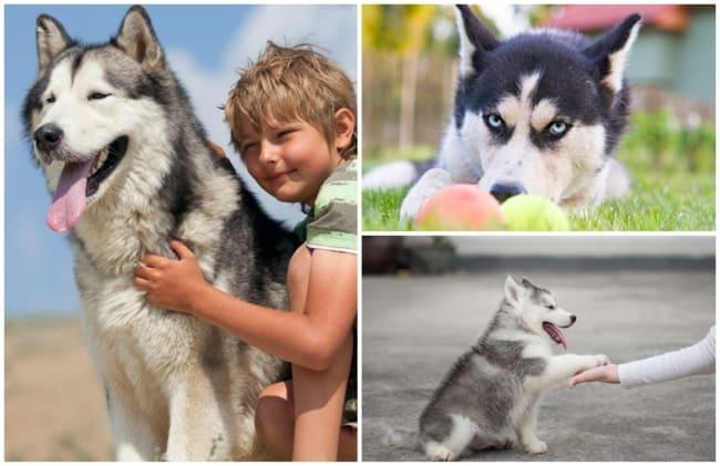 caracteristicas da raca husky siberiano
