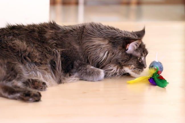dicas e caracteristicas de gato gigante