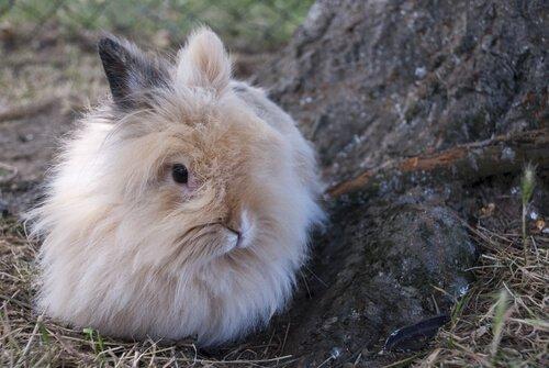 mini coelho angora