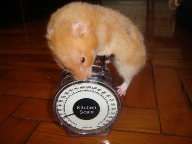 quanto pesa um hamster