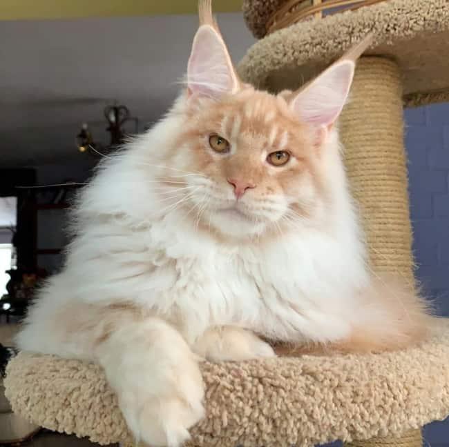 gato maine coon creme e branco