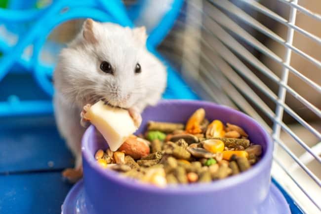 alimentacao de hamster