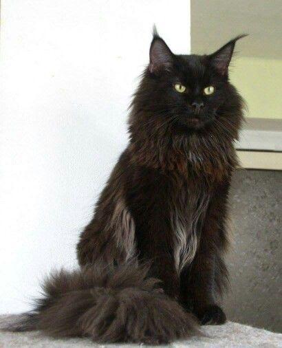 gato gigante de pelo preto