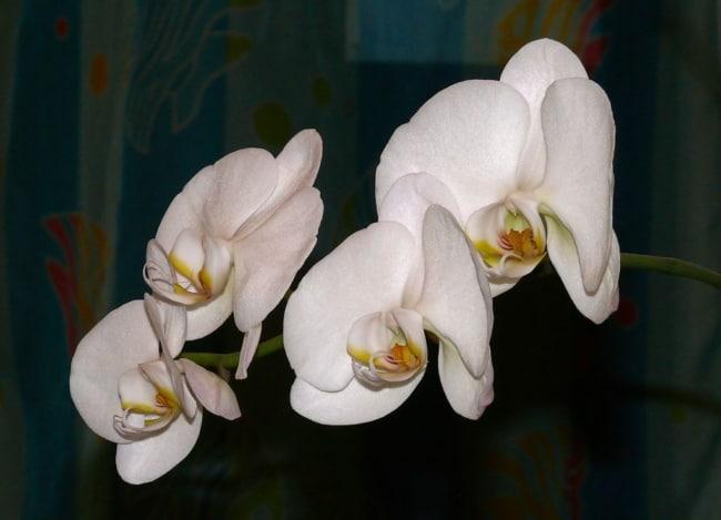 orquidea branca phalaenopsis aphrodite