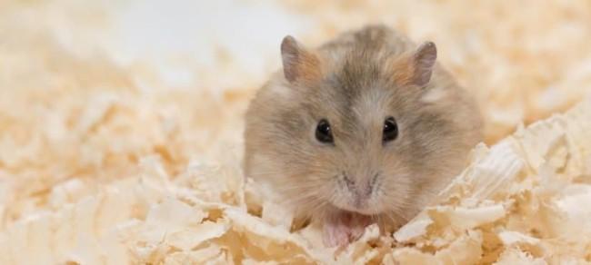 dicas de higiene para hamster