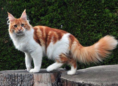 gato maine coon branco e vermelho