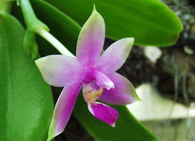orquidea phalaenopsis roxa