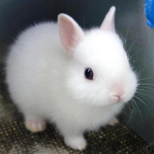 22 raca de coelho pequeno