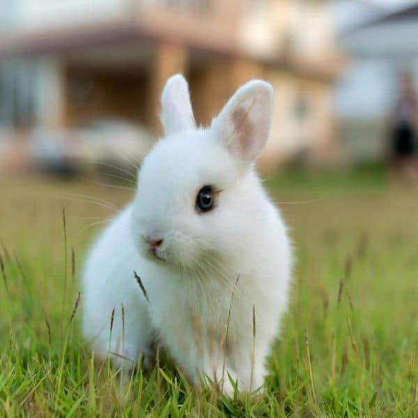 coelho toy branco