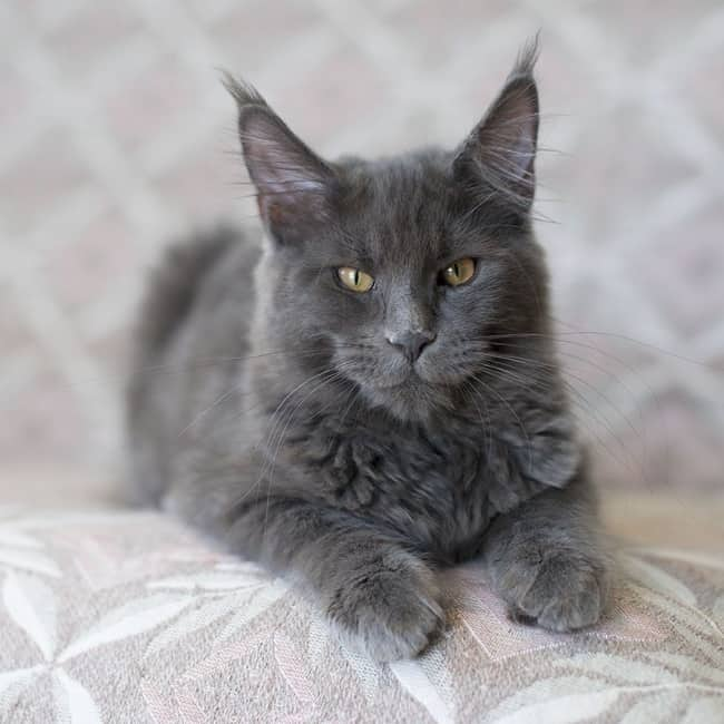 gato maine coon azul
