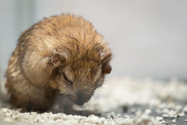 higiene hamster