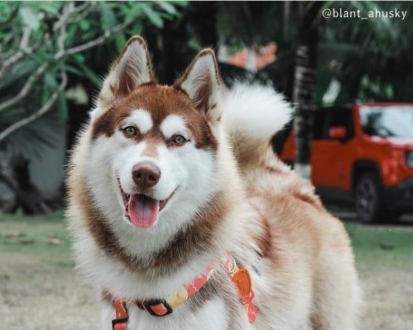 perfil no instagram de husky siberiano femea
