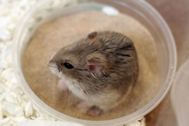 cuidados com higiene de hamster