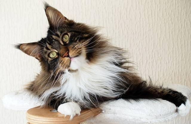 24 gato gigante marrom e branco