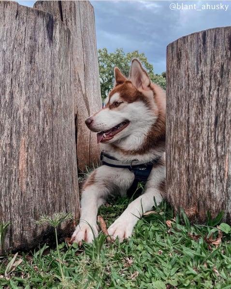 instagram com dicas de husky siberiano