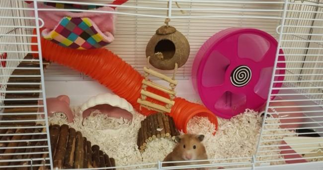 cuidados com hamster