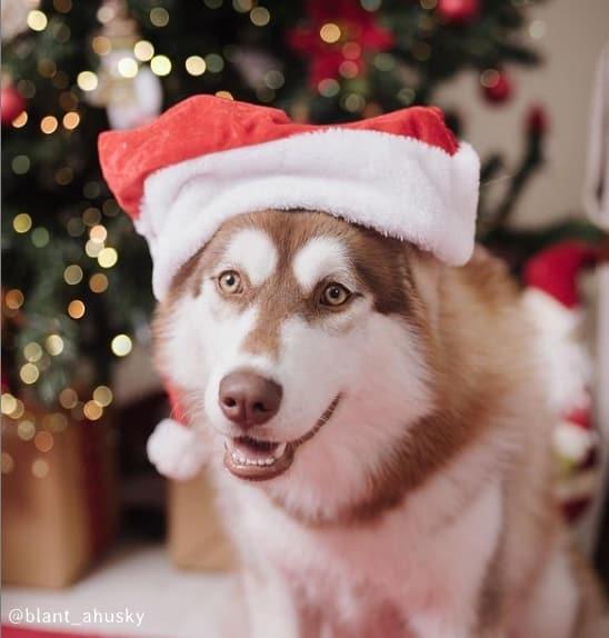 foto de husky siberiano com gorro de natal