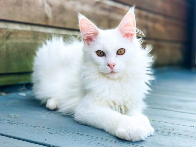 gato gigante de pelo branco