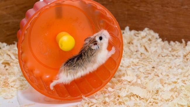 dicas e cuidados com hamster