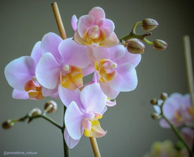 dicas e cuidados com orquidea phalaenopsis