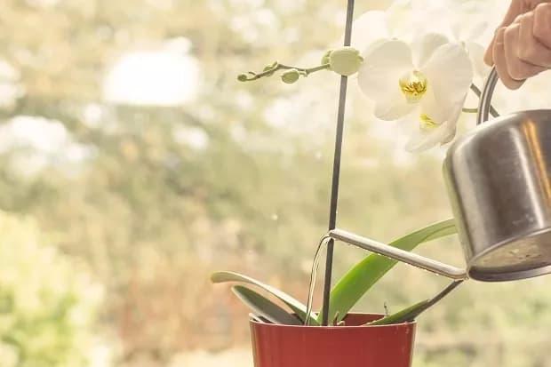 dica de rega para orquidea phalaenopsis