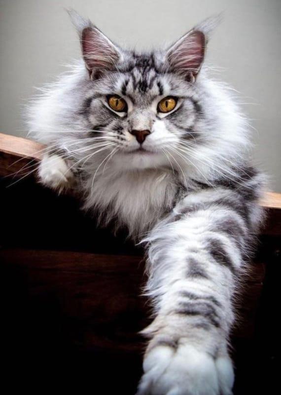 gato gigante com pelo prata
