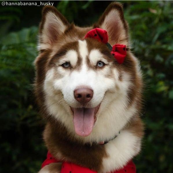 perfil de husky siberiano femea para seguir
