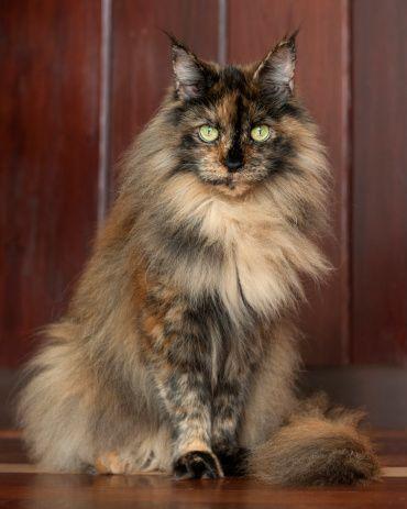 coloracao de gato maine coon