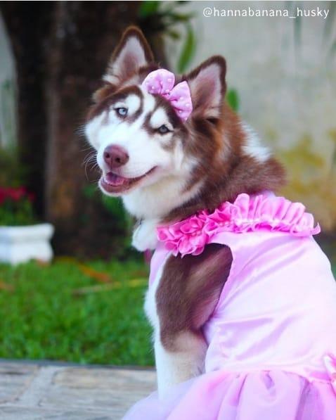 husky siberiano femea com vestido