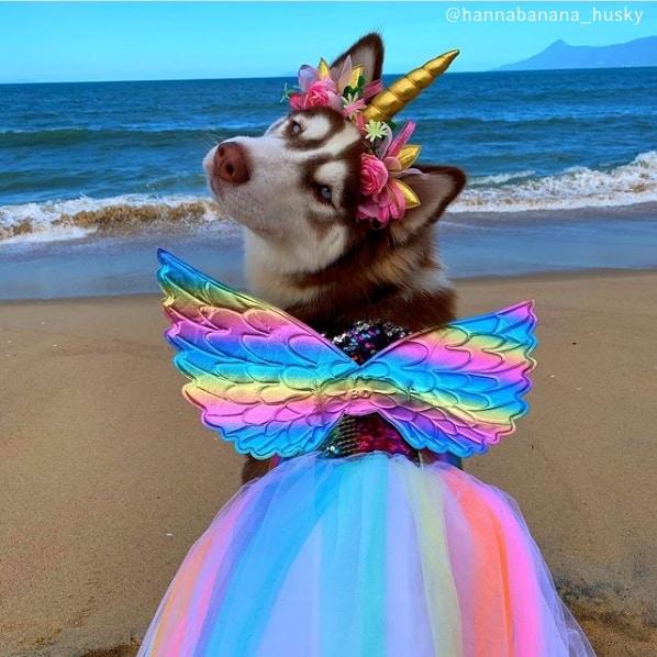 foto de husky siberiano femea com fantasia
