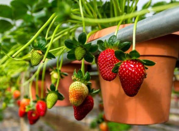 como cultivar morango