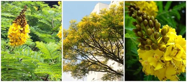 flores de sibipiruna