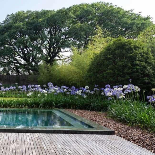 jardim em volta da piscina com agapanto