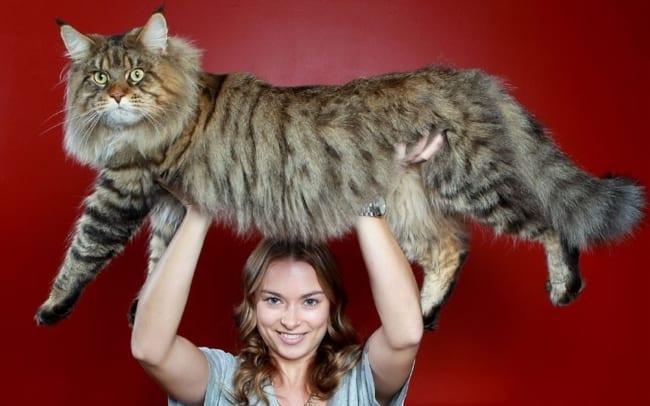 tamanho e peso de gato maine coon