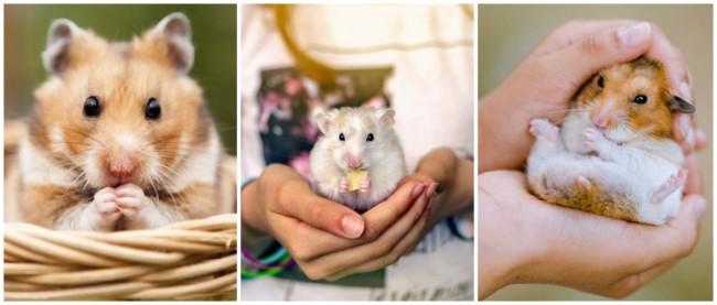temperamento hamster