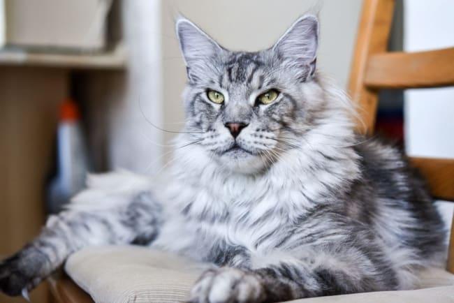 gato gigante em tons de cinza