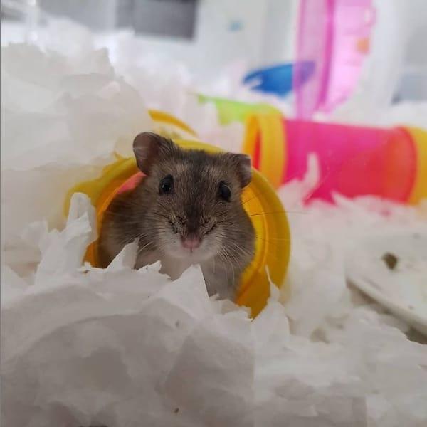 fotos de hamster