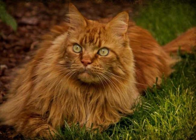 gato maine coon com pelo avermelhado e olho verde