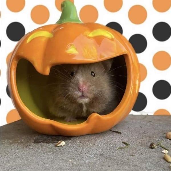pagina com fotos e dicas de hamster